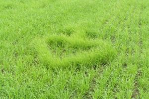 Serce z krzyżem zasiane na polu  przez rolnika z Jędryń.