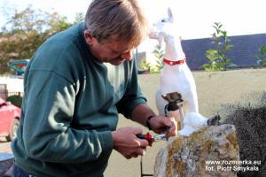 Józef Suchan naprawia uszkodzoną nogę kozy