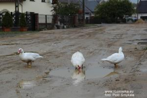 Największy ubaw miały kaczki. Rozmierka ul. Polna po budowie kanalizacji... Październik 2011 roku.